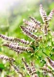 Цветки свежей мяты в саде Стоковое фото RF