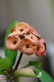 Цветки свирли кактуса Стоковое фото RF