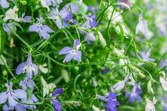Цветки сини и белых отставая лобелии сапфира или лобелия окаймляться, лобелия сада Стоковое Фото
