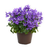 Цветки сини колокольчика Стоковое фото RF