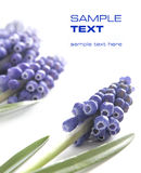 цветки сини предпосылки Стоковое фото RF