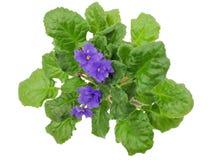 Цветки сини с зелеными листьями Стоковые Изображения RF