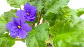 Цветки сини с зелеными листьями Стоковая Фотография