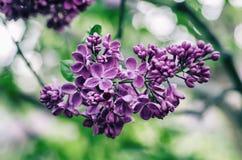 Цветки сирени весны стоковая фотография rf