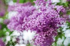 Цветки сирени весны стоковые изображения