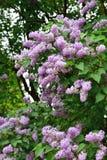 Цветки сирени в саде Стоковое Фото