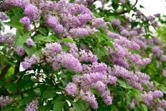 Цветки сирени в саде Стоковое фото RF