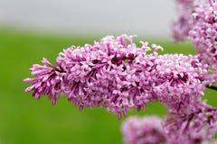 Цветки сирени конца-вверх красивые с листьями стоковые изображения