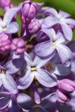 Цветки сирени, съемка макроса абстрактный цветок предпосылки Стоковое Изображение RF