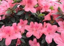 Цветки сирени, фиолетовые цветки blossoming вал весны Розовые цветки, розовые цветки, розовые азалии Стоковое Изображение RF