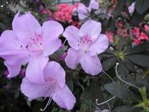 Цветки сирени, фиолетовые цветки blossoming вал весны Розовые цветки, розовые цветки, розовые азалии Стоковая Фотография RF