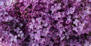 Цветки сирени, флористическая предпосылка Стоковые Фотографии RF