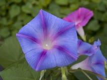 Цветки славы утра Стоковое Изображение RF