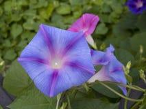 Цветки славы утра Стоковая Фотография RF