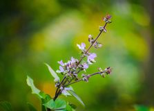 Цветки сладостного базилика стоковое изображение rf