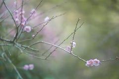 Цветки сливы в последней зиме Стоковая Фотография