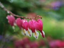 Цветки сломленного сердца Стоковые Фото