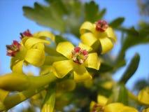 Цветки смородины Настроение весны природы Стоковое Изображение