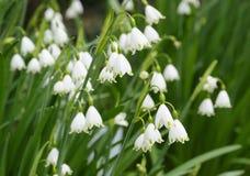 Цветки снежинки Стоковые Изображения RF