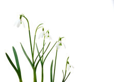 цветки собирают изолированное snowdrop Стоковые Изображения RF