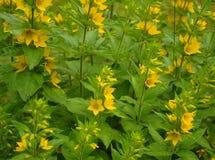 цветки собирают малый желтый цвет Стоковое Фото