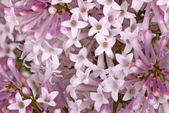 Цветки сорта растения сирени карлика заполняют рамку Стоковая Фотография RF