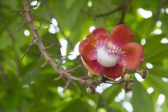 Цветки соли или дерево пушечного ядра Стоковое Фото
