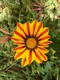 Цветки солнца Калифорнии Стоковые Изображения RF