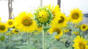 Цветки солнца стоковые изображения