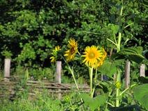 Цветки солнцецвета Стоковая Фотография RF