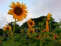 Цветки Солнця в парке Benchakitti Стоковое Изображение