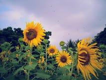 Цветки Солнця на парке Бангкоке Таиланде Benchakitti Стоковые Изображения