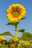 Цветки Солнця с голубым небом Стоковое Фото