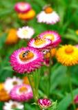 Цветки соломы Стоковые Фото