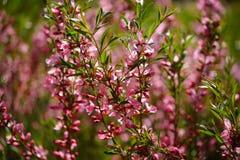 Цветки степи миндалины Стоковые Изображения RF