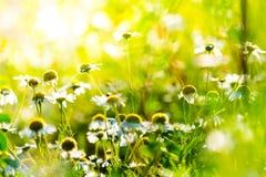 Цветки стоцвета в свете солнца Стоковое Изображение