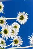 Цветки стоцвета увиденные от внизу Стоковые Изображения