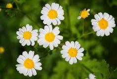 цветки стоцвета Стоковое Фото