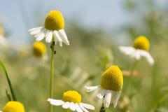 Цветки стоцвета Стоковая Фотография RF