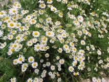 Цветки стоцвета Стоковые Изображения