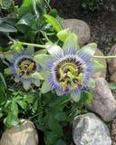 Цветки страсти Стоковое фото RF