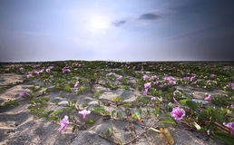 Цветки славы утра на пляже Batu Buruk Стоковое фото RF