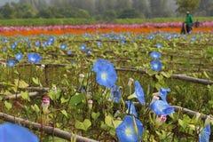 Цветки славы утра Стоковые Фотографии RF