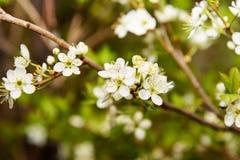 Цветки сливы, слива Стоковая Фотография