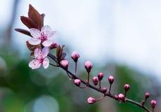 Цветки сливы Стоковые Изображения RF