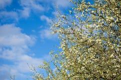 Цветки сливы Стоковые Фотографии RF
