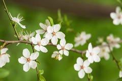 Цветки сливы Стоковые Фото