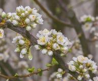 Цветки сливы Стоковое Изображение RF