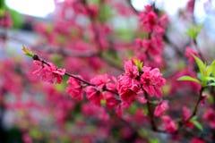 Цветки сливы Стоковое фото RF