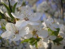 Цветки сливы just rained Стоковые Изображения
